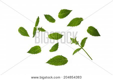 Isolate. Green Mint Leaves Isolated On White Background.