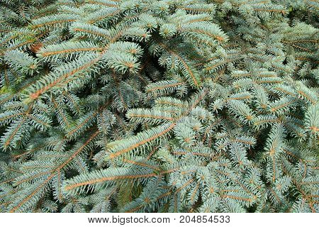 Fluffy branches of a blue spruce - Fir tree close. Lovely delicate luxurious spruce needles.