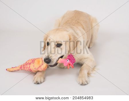 Portrait of the dog Golden Retriever is holding a toy chicken in the mouth laying over white background
