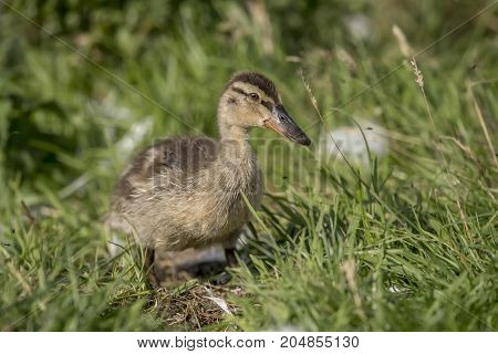 Mallard, Duckling, Close Up On The Grass