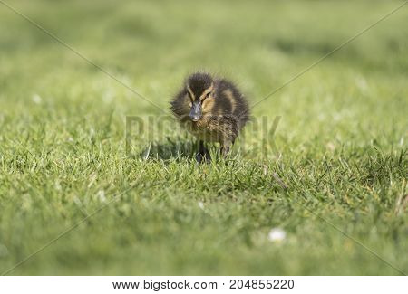 Mallard duckling on the grass looking forwards