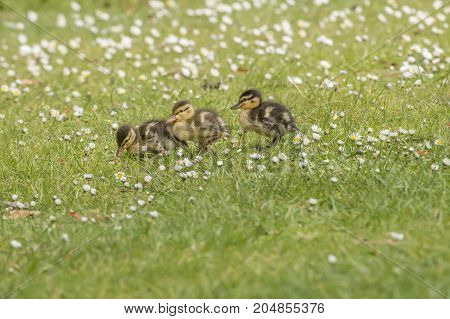 Mallard ducklings on the flower covered grass