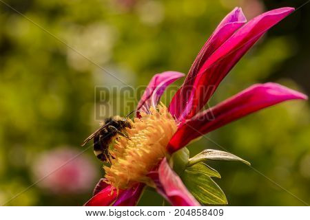 Honey Bee gathering pollen from Dahlia. Covered in yellow pollen.