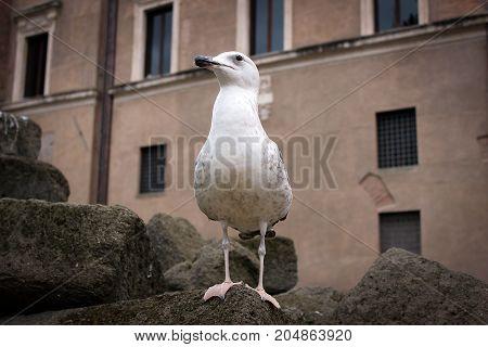 Photogenic gull on ancient ruins, Rome, Italy