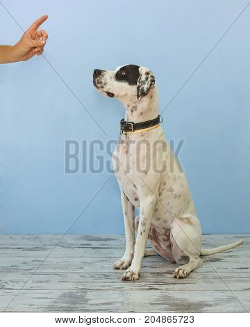 Sitting On Hind Legs English Pointer Womens Hand Shows Finger To It