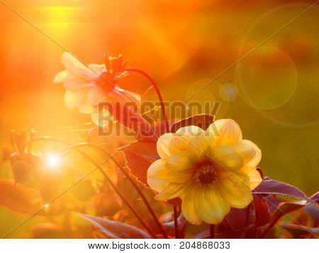 Beautiful yellow flowers of dahlia in the rays of the red sunset and glare.