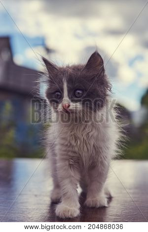 small fluffy white and gray kitten on a background of dense clouds