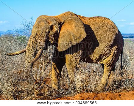 African Elephant in natural habitat, Ngorongoro Conservation Area, Tanzania, Africa