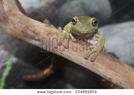 A Small Australian Toad
