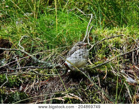A small chick hides in the grass on the ground from forest predators.