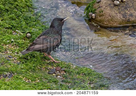 A starling taking a drink on the sea shore with water, rocks and seaweed