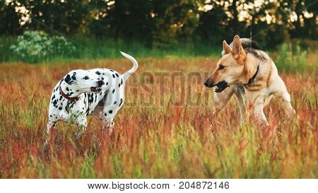 Two Big Dogs Playing In A Meadow