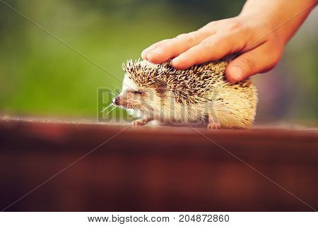 hedgehog closed his eyes in pleasure while his human hand strokes