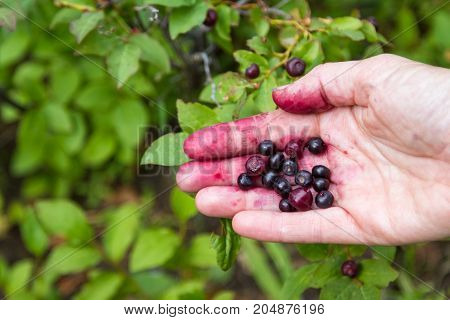 Huckleberry Season In Oregon
