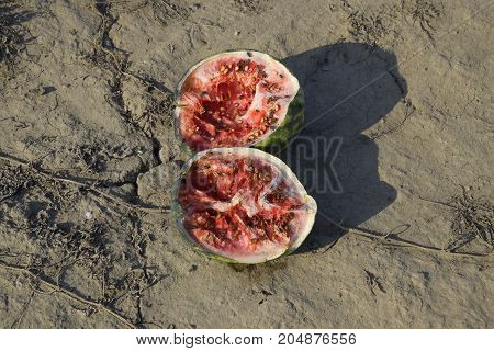 Split In Two An Old Rotten Watermelon. Rotten Watermelons. Remains Of The Harvest Of Melons. Rotting