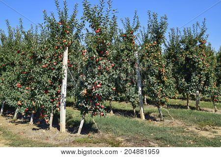 Apple Orchard. Rows Of Trees And The Fruit Of The Ground Under T