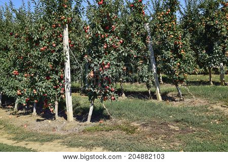 Apple Orchard. Rows Of Trees And The Fruit Of The Ground Under The Trees