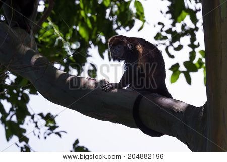Howler Monkey On A Tree