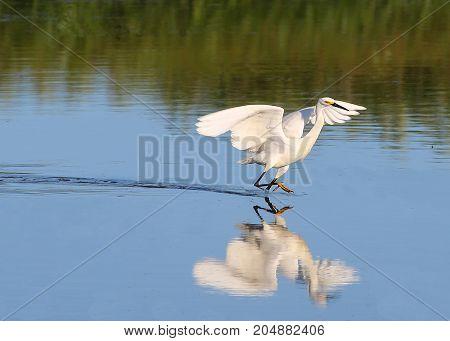 A Snowy Egret skipping across a pond