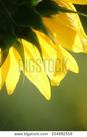 The close-up of a sunflower in the backlight with light-flooded petals.