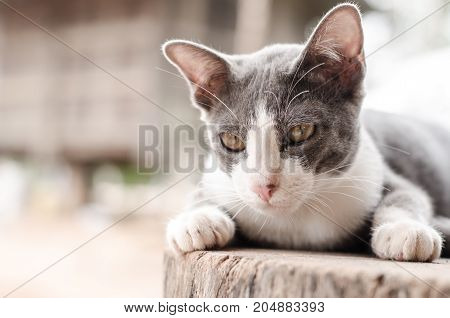 Gray and white cat relaxing on the wooden,cute animal and pet