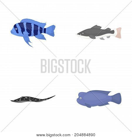 Frontosa, cichlid, phractocephalus hemioliopterus.Fish set collection icons in cartoon style vector symbol stock illustration .