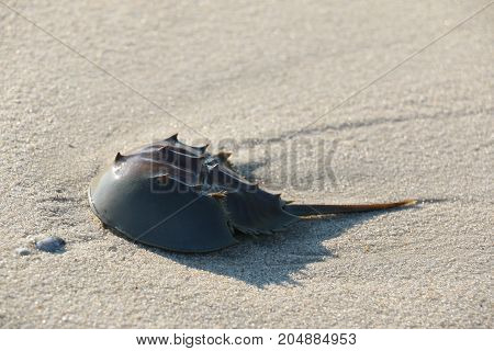 A horse shoe crab crawling along the beach.