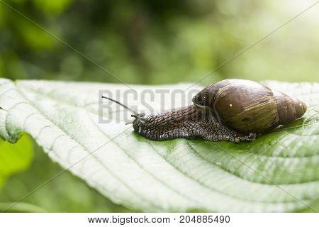 A nice snail on banana palm green leaf