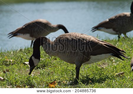 Canadian geese looking for food by the pond.