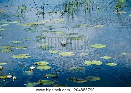 Forest lake with blossoming white water lilies