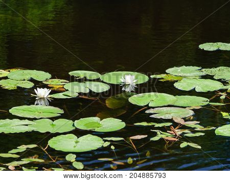 Dissolving white lilies on a forest lake
