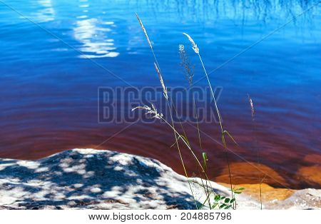 Reed on a lake with a blurry background