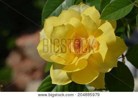 Yellow rose bloom surrounded by green leaves