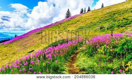 Hiking through alpine meadows covered in pink fireweed wildflowers in the high alpine near the village of Sun Peaks, in the Shuswap Highlands in central British Columbia Canada