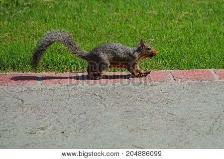 Squirrel standing on the edge of the driveway next to the green grass