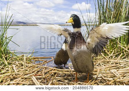 Birds and animals in wildlife. Beautiful duck flapping the wings in water