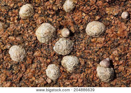 Common Limpet Snails (patella Vulgata)