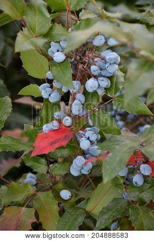 Berry Mahonia Aquifolium