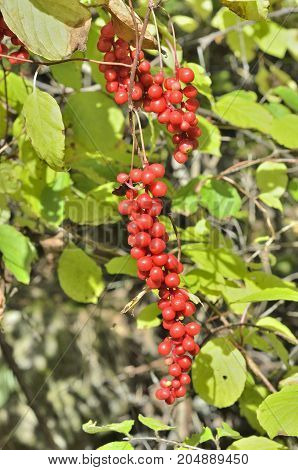 A close up of the Far-Eastern medicinal plant (Schisandra chinensis) with berries.
