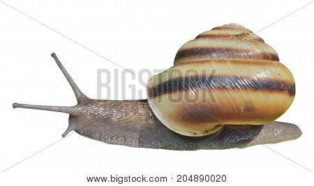 A close up of the snail. Isolated on white.