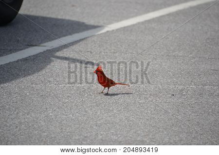 beautiful bright red Northern Cardinal in florida