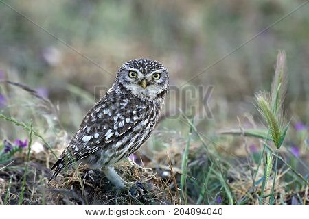 Little owl sitting on the ground in its habitat
