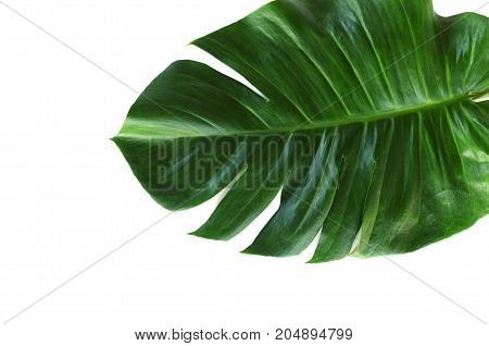 green leaf of monstera isolate on white background