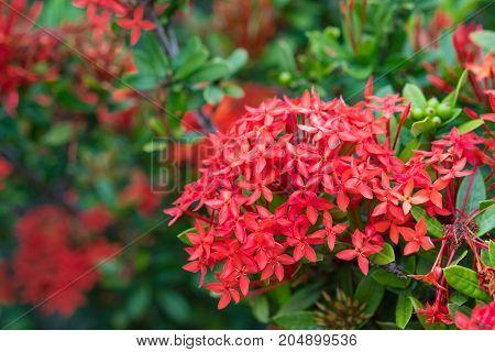 Ixora Red Spike Flower. King Ixora Blooming (ixora Chinensis).ixora Coccinea Flower, Shallow Dof.