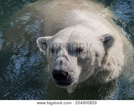 The head of the polar bear, bathing in water. A representative of the severe Arctic.