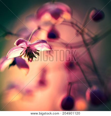 Gardens blossom in full bloom.Flowers in small clusters on a bush