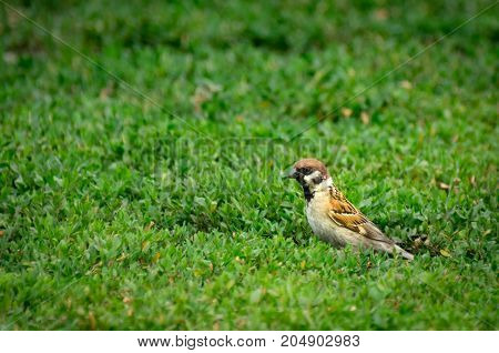 A Mountain Sparrow looking for insects prey in grass