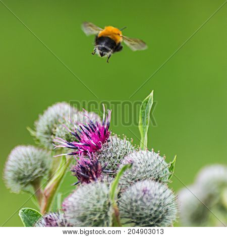 Pollination Concept: Close-up Of A Bumblebee Flying Away From Purple Great Globe Thistle Flower, Blu