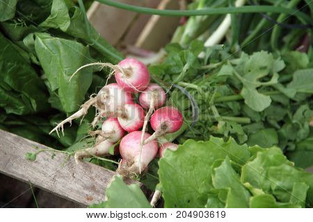 vegetables, fresh radishes from the organic garden