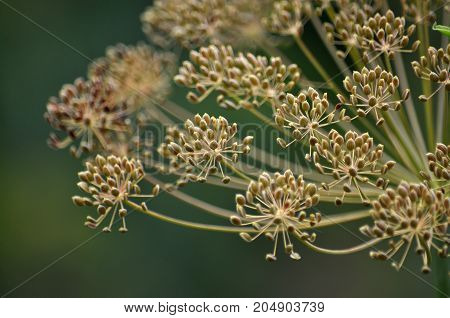 Umbrellas maturing vegetable crops seeds fragrant dill close